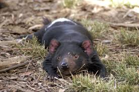 animal testing speaking of research tasmanian devils under threat