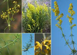 Galium verum L. subsp. verum - Portale sulla flora delle Saline di ...