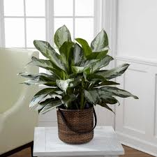 chinese evergreen best office plant no sunlight