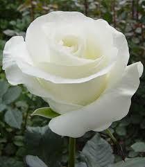 Kết quả hình ảnh cho bông hồng