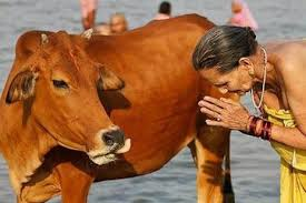 「india sacred cow」的圖片搜尋結果