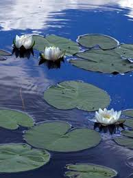 White Water-lily, Nymphaea alba - Flowers - NatureGate