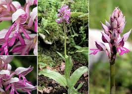 Orchis militaris L. - Sistema informativo sulla flora della Val ...