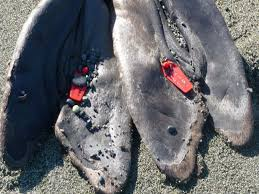 race rocks the tags were added in port angeles by noaa which has jurisdiction in the us over whales dolphins porpoises seals and sea lions