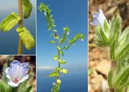 Echium parviflorum Moench - Portale della Flora di Roma