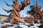 Images & Illustrations of bristlecone pine