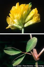 Descrizione della specie (Flora Helvetica 2018)
