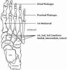 ankle foot bones diagram    ladiesmagz comfoot bone structure