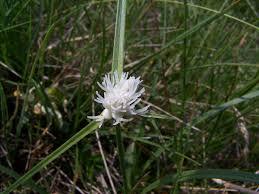 Carex baldensis — Wikipédia