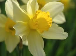 Narcissus ×incomparabilis Mill. - Sistema informativo sulla flora ...