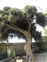 arbol-de-te-malaleuca-alternifolia