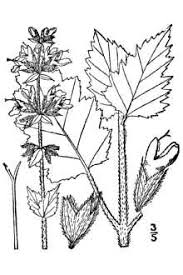 Plants Profile for Salvia verbenaca (wild clary)
