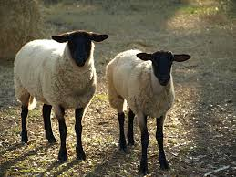 Image result for sheep-lovers - pictures