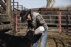 Livestock <b>lost</b>: <b>Woman</b> loses cattle to modern day rustler | Western ...