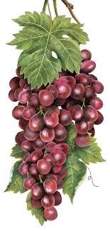 Vineyard Grapes (Mary Lake Thompson) | Изображения фруктов ...
