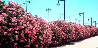 Resultado de imagen de arbusto de adelfas