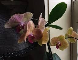 angelina manno obituary shreveport louisiana com i m so glad i got to speak her a few days before she went to icu one of the orchids she gave me is about to bloom every day i