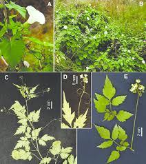 A-B: Calystegia sylvatica subsp. disjuncta from Mallorca; C-D ...