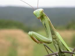Image result for mantis