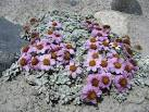 waldheimia