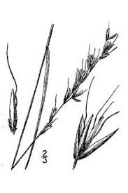 Plants Profile for Avenula hookeri (spikeoat)