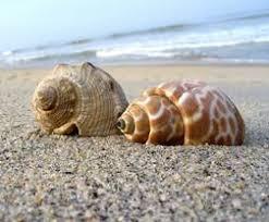 Risultati immagini per sea shell
