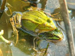 Water frogs