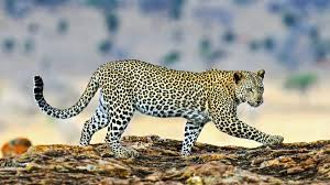 BBC Learning English - The English We Speak / A <b>leopard</b> can't ...