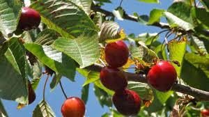 Resultado de imagem para apanhando frutas