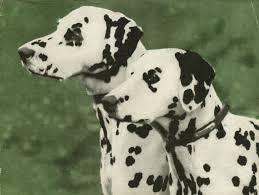 Canis caninam non est...