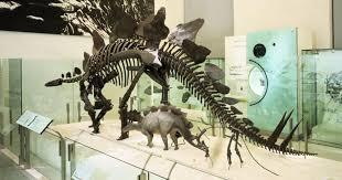 <b>Stegosaurus</b> Fossil Skeleton
