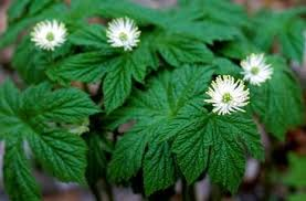 Image result for goldenseal
