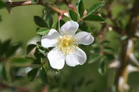 Rosa agrestis - Wikispecies