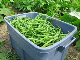 Image result for beans farming