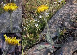 Hieracium glanduliferum Hoppe - Portale alla flora del Parco ...