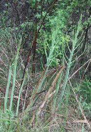 Asparagus officinalis - Michigan Flora