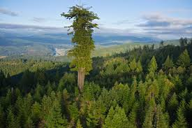 Image result for california redwood trees