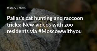 Pallas's cat hunting and <b>raccoon</b> tricks: New videos with zoo ...