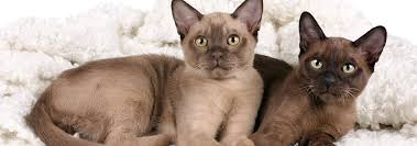 <b>Burmese</b> Cat Breed - Facts and Personality Traits   Hill's Pet