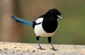 Image result for magpie