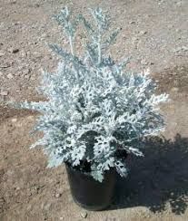 Centaurea cineraria | Village Nurseries Wholesale Plant & Tree ...