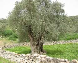 Resultado de imagen de imagenes de olivas
