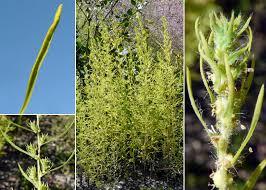 Bassia scoparia (L.) Voss - Sistema informativo sulla flora vascolare ...