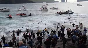 Image result for 丹麦人杀鲸鱼2015年