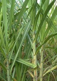 Poaceae (Graminaceae)
