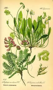 Oxytropis neglecta - Wikipedia, la enciclopedia libre