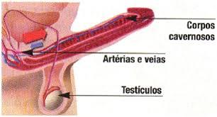 Resultado de imagem para aparelho reprodutor do homem e prostata