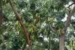 Images & Illustrations of carob tree