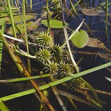 Sparganium emersum (simple-stemmed bur-reed): Go Botany