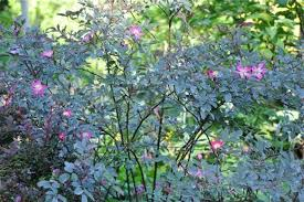 great shrub: rosa glauca, my must-have rose - A Way To Garden